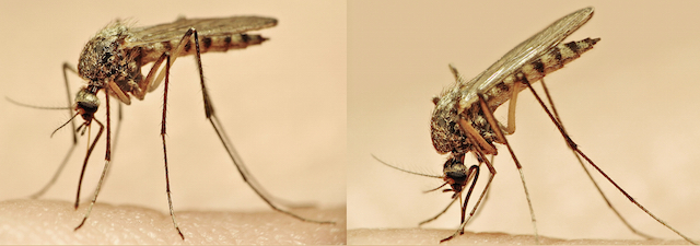 blog-mosquito-bite-stinger