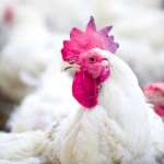Here's What You Need to Know About Avian Flu